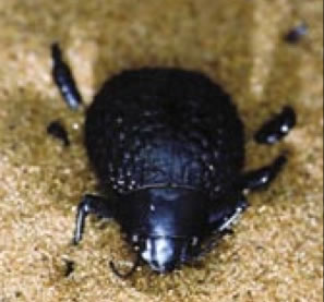 beetle with superhydrophobic grooves and superhydrophilic surface